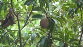 Kiwi sull'albero fotografia stock libera da diritti