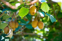 Kiwi sull'albero sulla piantagione del kiwi in Italia fotografia stock