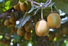 Kiwi sulla pianta Fotografia Stock Libera da Diritti