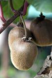 Kiwi on a tree. Kiwi fruits ripening on a tree royalty free stock photography