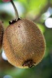 Kiwi on a tree. Kiwi fruit ripening on a tree royalty free stock images