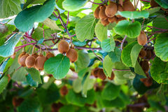 Kiwi tree with fruit and leaves Royalty Free Stock Photography