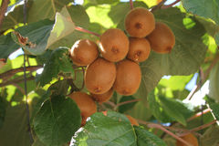 Kiwi tree Royalty Free Stock Images