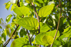 Kiwi tree leaves on branch. In garden Royalty Free Stock Images