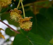 Kiwi Tree met kleine vruchten Stock Afbeeldingen