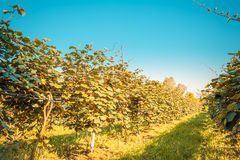 Kiwi tree Stock Image