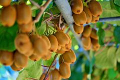 Kiwi vine. The kiwifruit, native to northern China, was first brought to and cultivated in New Zealand at the turn of the 20th century and was then known as the Stock Image
