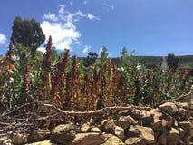 Kiwicha-Ernten in Isla del Sol lizenzfreie stockbilder