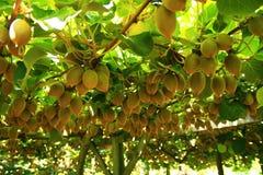Kiwifrucht auf Baum Lizenzfreie Stockbilder