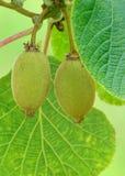 kiwifruit Fotografía de archivo