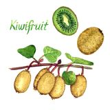 Kiwifruit branches with ripe fruits, cut half and whole fruit with inscription. Hand painted watercolor illustration Royalty Free Stock Photography