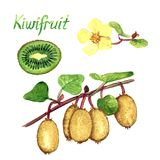 Kiwifruit branches with ripe fruits, female flowers, cut half. Kiwifruit branches with ripe fruits,  female flowers, cut half with inscription, hand painted Royalty Free Stock Images