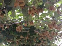 Kiwifruit de Jinyan Fotos de Stock