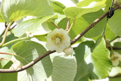 Kiwifruit flower and cane with clip on wire. Female kiwifruit flower Actinidia chinensis. Both an open flower and a flower about to open Royalty Free Stock Photography