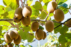 Kiwifruit growing in a garden Royalty Free Stock Photography