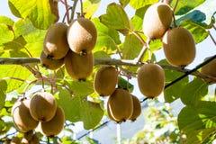 Kiwifruit het groeien in een tuin Royalty-vrije Stock Fotografie