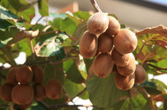 Kiwifruit plant Stock Photos