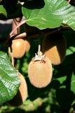Kiwifruit rijpt in het noorden van Italië Stock Fotografie