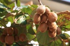 kiwifruit roślina Zdjęcia Stock