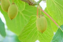 Kiwifruitfrucht Stockbild