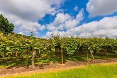 Kiwiplantage Lizenzfreie Stockfotografie