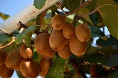 Kiwis or Actinidia. Plant or tree of kiwi royalty free stock photos