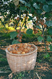 Kiwis in basket. Kiwis in the basket in the orchard Royalty Free Stock Photo