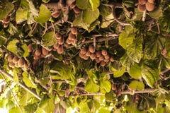Kiwis en el árbol Fotos de archivo libres de regalías