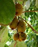 Kiwis felices en el árbol Imagen de archivo libre de regalías