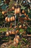 Kiwis in garden Stock Photo