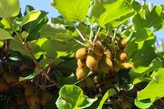Kiwis growing in Capri, Italy Stock Photo