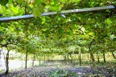 Kiwis growing in large orchard in New Zealand. Kerikeri. stock image