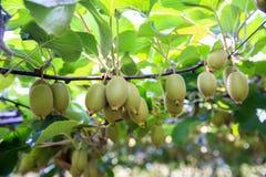 Kiwis growing in large orchard in New Zealand. Kerikeri stock images