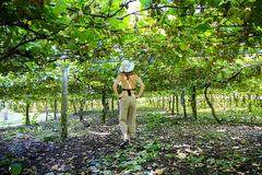 Kiwis growing in large orchard in New Zealand. Kerikeri. Young cucasian woman in a hat enjoying Kiwis growing in large orchard in New Zealand. Kerikeri stock images