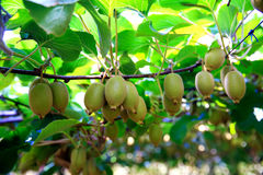 Kiwis growing in orchard in New Zealand. Royalty Free Stock Images