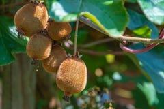 Kiwis mûrs juteux sur un arbre photos libres de droits