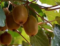 Kiwis que crecen en el árbol foto de archivo