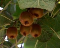 Kiwis que crecen en el árbol imagenes de archivo