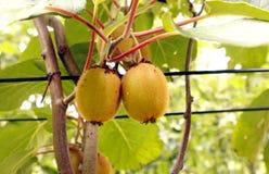 Kiwis  on a tree Stock Photo