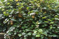Kiwiträd med frukter royaltyfri fotografi