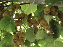 Kiwiträd som fylls med skörden av kiwin Arkivbild