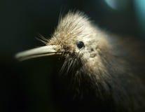 Kiwivogel stockfotos