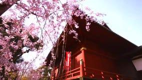 Kiyomizu Kannon Temple and Sakura, Cherry blossom in Ueno Park at Tokyo, Japan. Sakura, Cherry blossom in Ueno Park. The season of traveling in Japan stock video footage