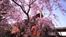 Kiyomizu Kannon Temple and Sakura, Cherry blossom in Ueno Park at Tokyo, Japan. Sakura, Cherry blossom in Ueno Park. The season of traveling in Japan stock footage