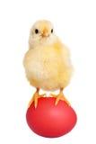 Küken mit rotem Osterei Lizenzfreies Stockfoto