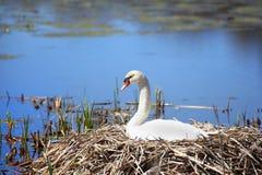 Kläcka ägg för vit Swan royaltyfri bild