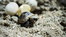 Kläcka för sköldpadda Arkivbilder