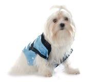 Klädd ung maltese hund Arkivfoton