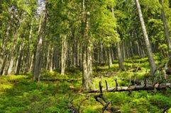 Klämmer fast skogen på ett högt berg Royaltyfria Foton