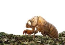 klängande hud för cikadacicadidae till treen Royaltyfri Fotografi